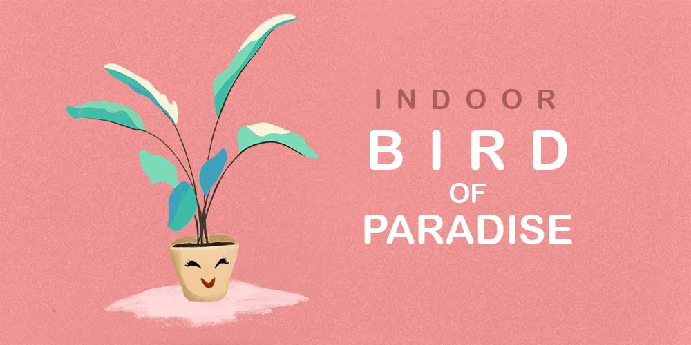 Indoor Bird of Paradise